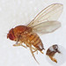 Flickr photo 'Spotted-wing Drosophila (Drosophila suzukii) female' by: Martin Cooper Ipswich.