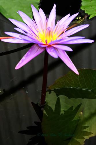 QSBG Lotus 2014. | by ol'pete