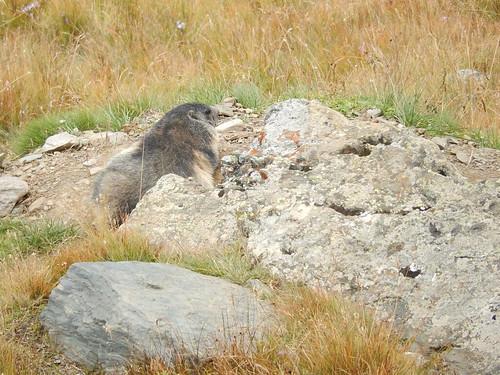 Grossglockner Strasse - Franz Josef Hoehe - marmot