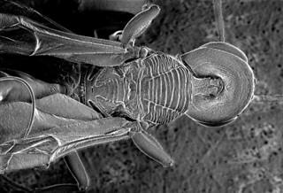 ANCGC01 Aulacus emineo Jennings & Austin (Hymenoptera: Aulacidae), Aoupinie, New Caledonia