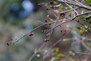 Berries | by spinningarrow_