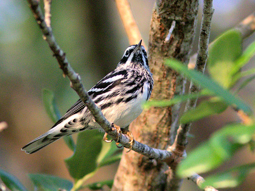 Black-and White Warbler 02-20170401