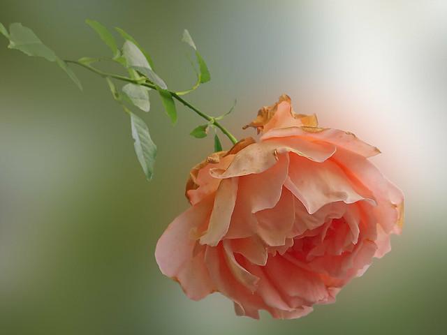 IMG_0924 sad rose - ON EXPLORE # 210