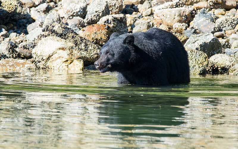 Black bear near Tofino (Canada) taking a bath