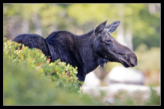 ME Moose...