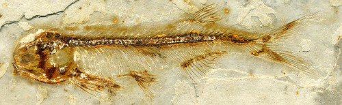 Lycoptera davidi fossil fish (Jehol Lagerstatte, Yixian Formation, Lower Cretaceous; western Liaoning Province, China) | by James St. John