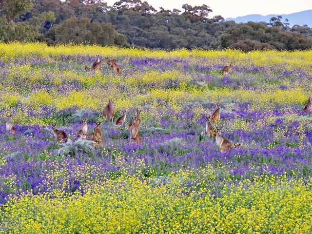 Spot the kangaroos! The light was fading and this is the best I could achieve after editing for the dull color due to the dim light on my compact Nikon.  Explored 27/9/14