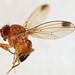 Flickr photo 'Spotted-wing Drosophila (Drosophila suzukii) male' by: Martin Cooper Ipswich.