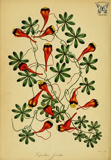 Tropaeolum tricolor [as Tropaeolum jarrattii] Paxton's Magazine of botany and register of flowering plants vol. 5 (1838)