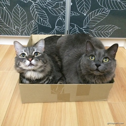 For those who ordered two items they will be packed together to save on shipping XD #lolcats #cats #hilarious #ifitisit #readytoship #deathbylaughter | by puppy52