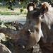 Samice Nabiré ze ZOO Dvůr Králové je jedním z posledních sedmi severních bílých nosorožců na světě, foto: Petr Nejedlý