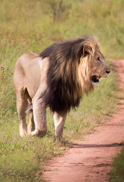 Male lion in Entabeni South Africa