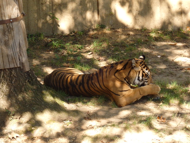 Tiger, the National Zoo