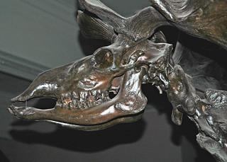 Megaloceros giganteus Irish elk skeleton (Pleistocene; peat bog near Dublin, eastern Ireland) 3
