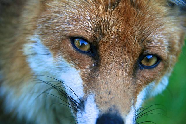 Fox Poses for Photos