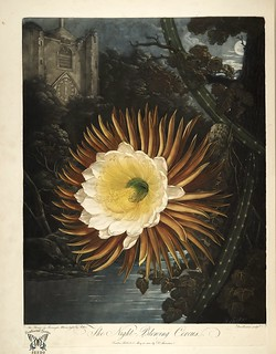 Night Blooming Cereus. Selenicereus grandiflorus [as Cactus grandiflorus] New illustration of the sexual system of Carolus von Linnaeus and the temple of Flora, or garden of nature, Thornton, R.J.,  (1807)