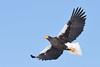 A Steller's sea eagle in flight (3) by takashi muramatsu