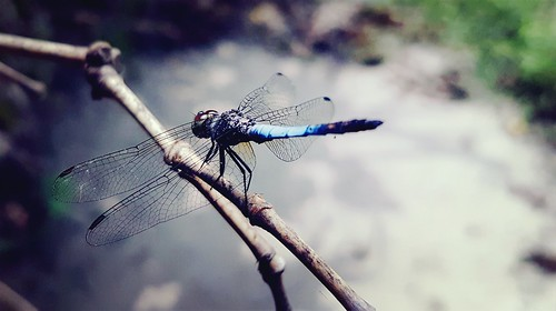 dragonfly nature samsungs7 galaxys7 samsunggalaxy