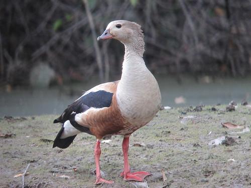 Neochen jubata / Pato carretero / Orinoco Goose
