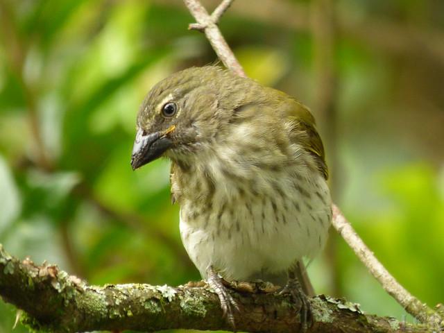 Saltator striatipectus - Juvenile