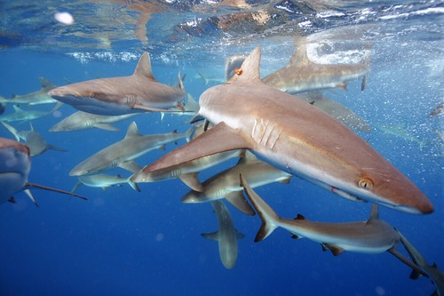 Grey reef sharks | by USFWS Pacific