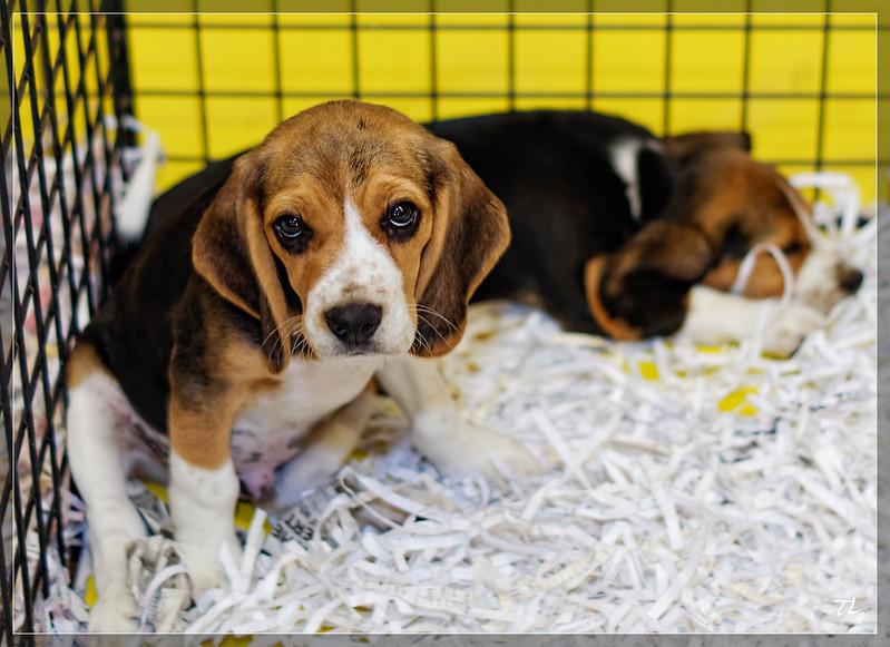 Beagle - Salon du chiot 2014 (4)