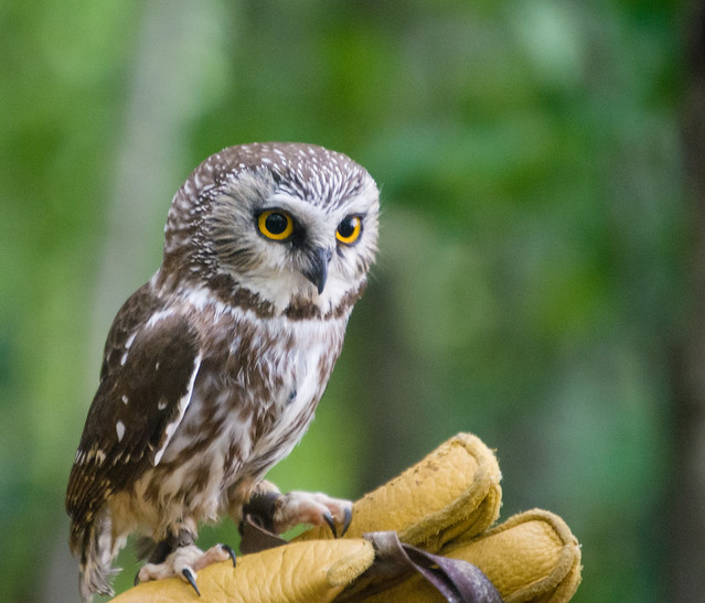 Petite Nyctale | Northern saw-whet owl