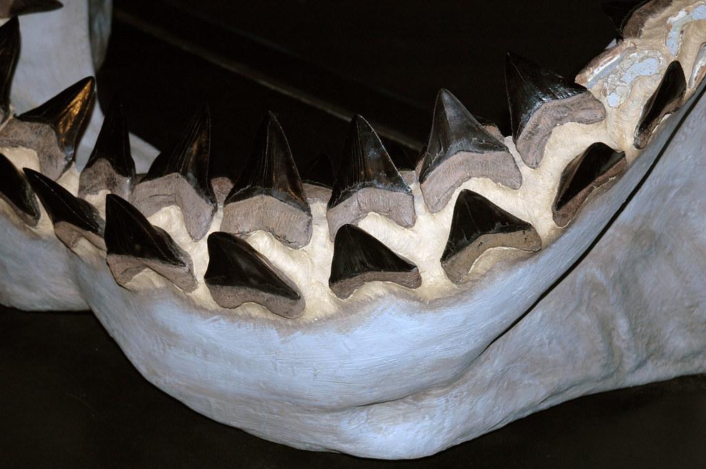 Carcharodon megalodon fossil shark jaw (reconstruction) (l