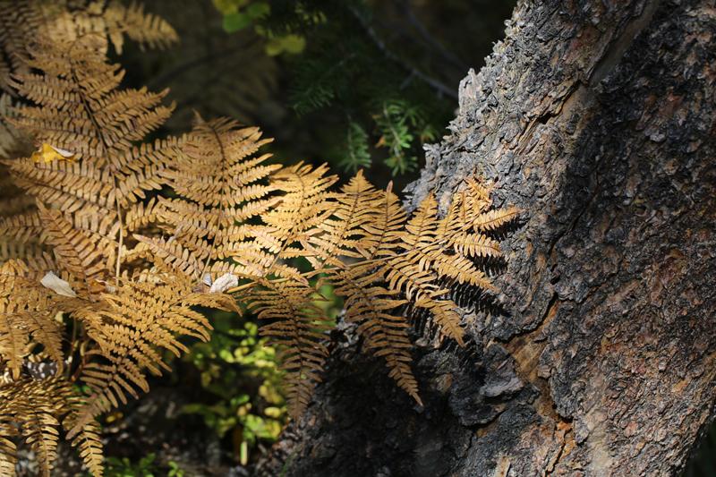 2014 9 30 - Copper ferns - 9S3A3030