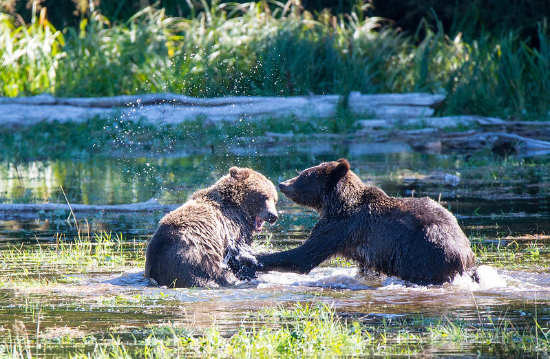 Grizzly Cubs Playing rough