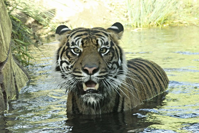 Sumatran Tiger - Joanne - conscious