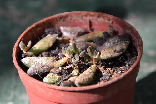 Sinocrassula yunnanensis 32784915300_dd64d5407c