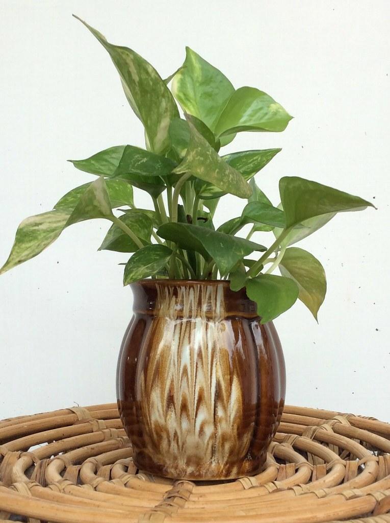 Money plant -