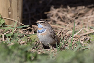 Bluethroat | by markhows