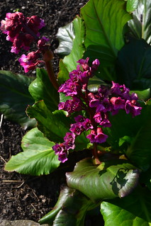 Bergenia 'Pugsley's Pink' | by Avondale Nursery