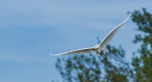 Grande Aigrette Ardea alba  Great Egret | by Julien Ruiz