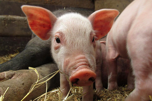 Take a Farm Tour on Saltspring Island, Gulf Islands, British Columbia. Piglet on Hope Hill Farm.