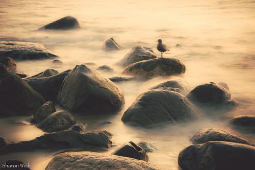 ocean longexposure light color colour bird beach water vancouver sand rocks waves goldenhour bluechameleon sharonwish fordawn bluechameleonphotography