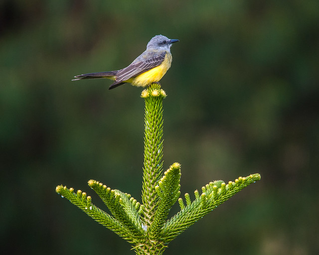 Tropical Kingbird perched on top of a tree (Araucaria)