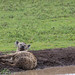 Lazy Spotted Hyena