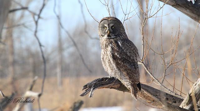 *** Chouette lapone / Great Gray Owl /Strix nebulosa