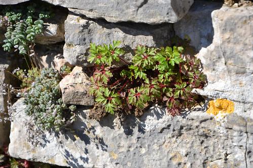 Geranium robertianum - herbe à Robert 33498355695_f5cd0ee55b