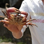Mon, 04/03/2017 - 23:18 - The crustaceans are considered a delicacy and are highly valued by the thousands of tourists that visit the island. Thanks to a GEF SGP project now the crabs are harvested sustainably. After being collected, the crabs are weighted, measured, labeled and recorded in a registry. Only the land crabs that have the label can be legally sold to restaurants and tourists. Those who do not comply face stiff fines.
