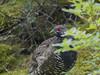 Spruce Grouse (Falcipennis canadensis) by Felipe..Alvarez