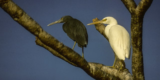 Pacific Reef Egret ( Two forms ) - Heron Is - Australia_Image48 | by fveronesi1