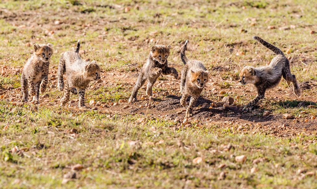Cheetah Cubs Running and Playing