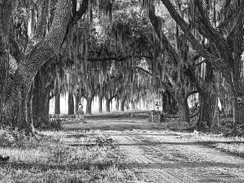 coosaw coosawplantation beaufortcounty beaufort southcarolina plantation spanishmoss oaktrees oakavenue avenueofoaks monochrome blackwhite explored