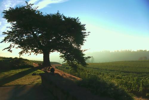 trees fog oregon sunrise landscape vineyard