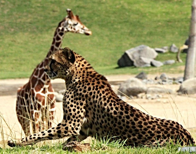 Cheetah and Giraffe -