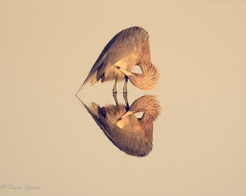 merrittisland background bird florida reddishegret sunrise water wildlife unitedstates us